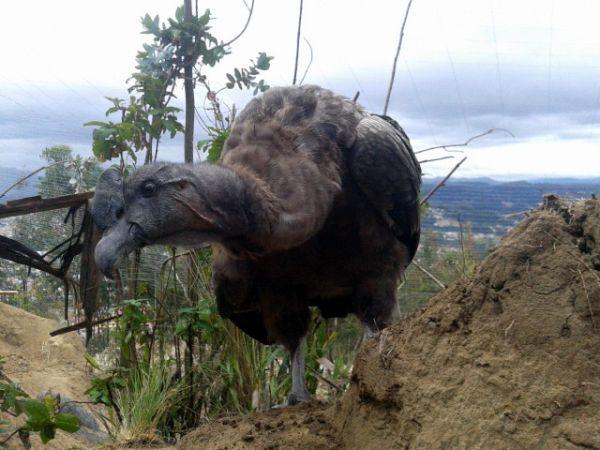 Zoo-Bioparque-Amaru-Cuenca-Cóndor se recupera en zoológico Amaru