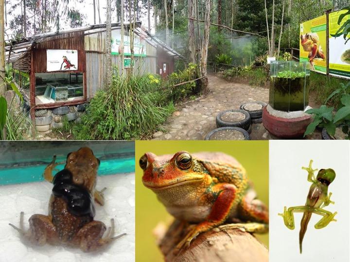Zoo-Bioparque-Amaru-Cuenca-AMARU CRIA BAJO CUIDADO HUMANO CIENTOS DE RANAS