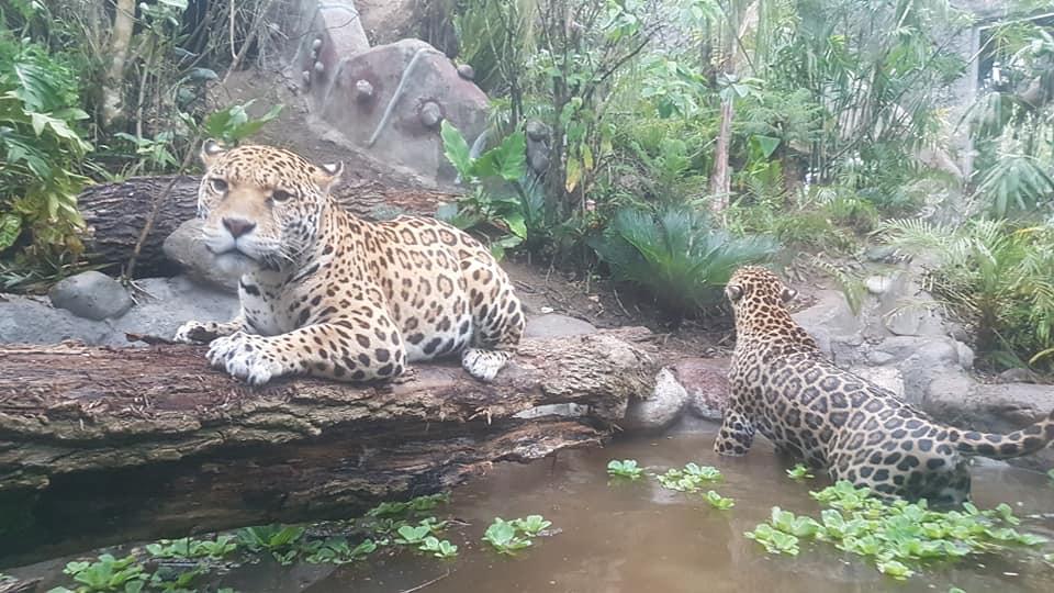 Zoo-Bioparque-Amaru-Cuenca-INAUGURACIÓN DE LA SELVA DE ARUTAM
