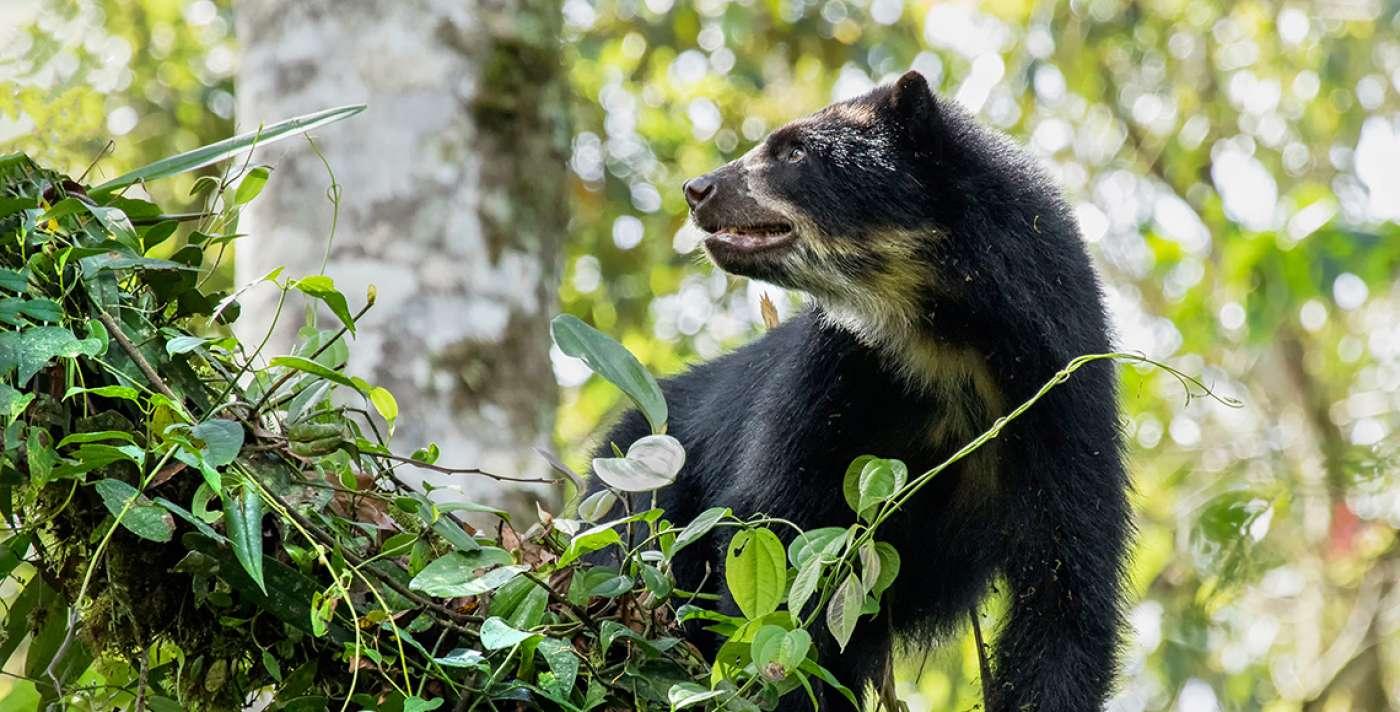 Zoo-Bioparque-Amaru-Cuenca-En marcha estrategia para proteger al oso andino
