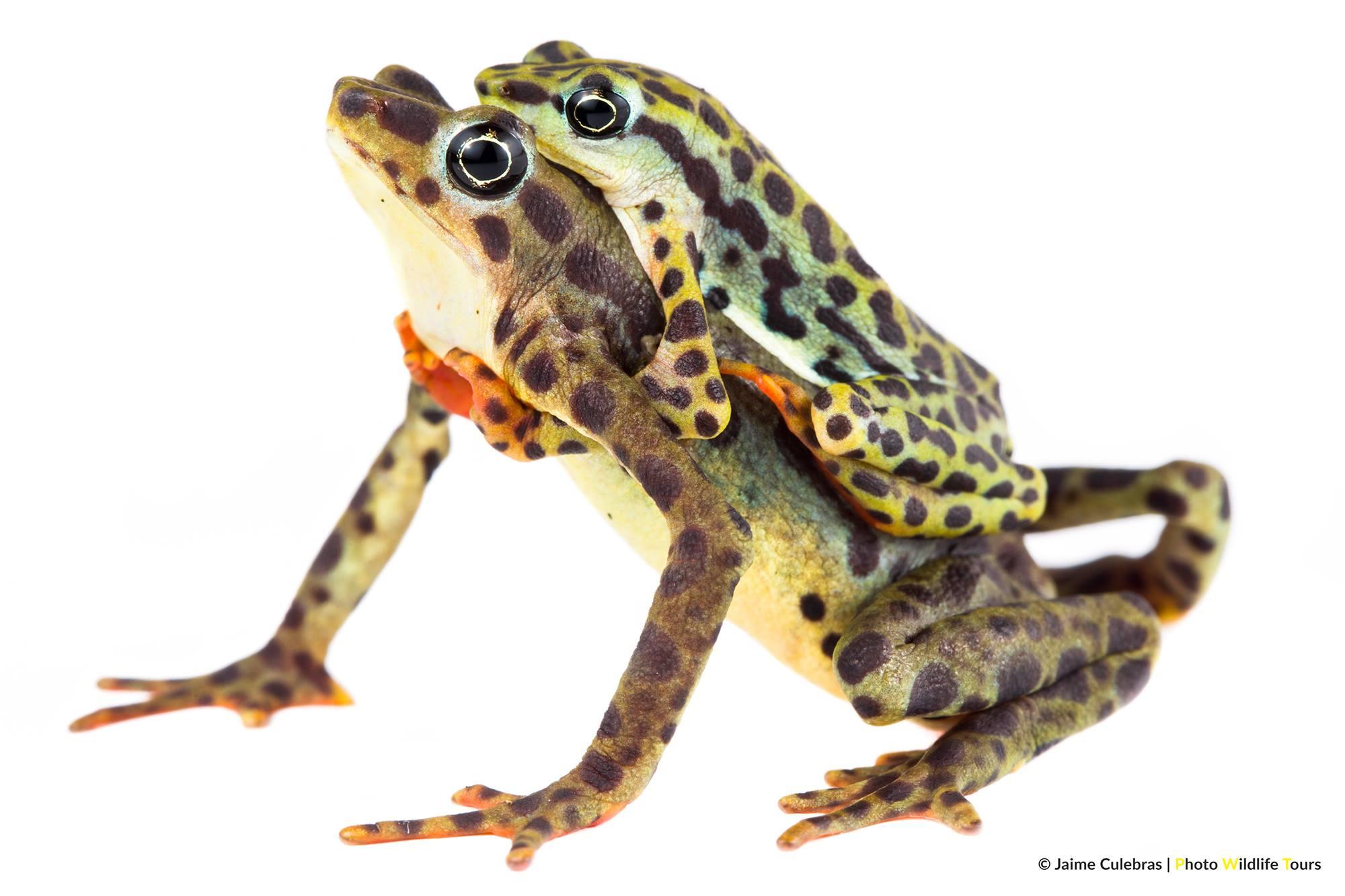 Zoo-Bioparque-Amaru-Cuenca-CONSERVACIÓN DE ANFIBIOS