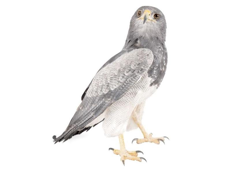 Águila pechinegra