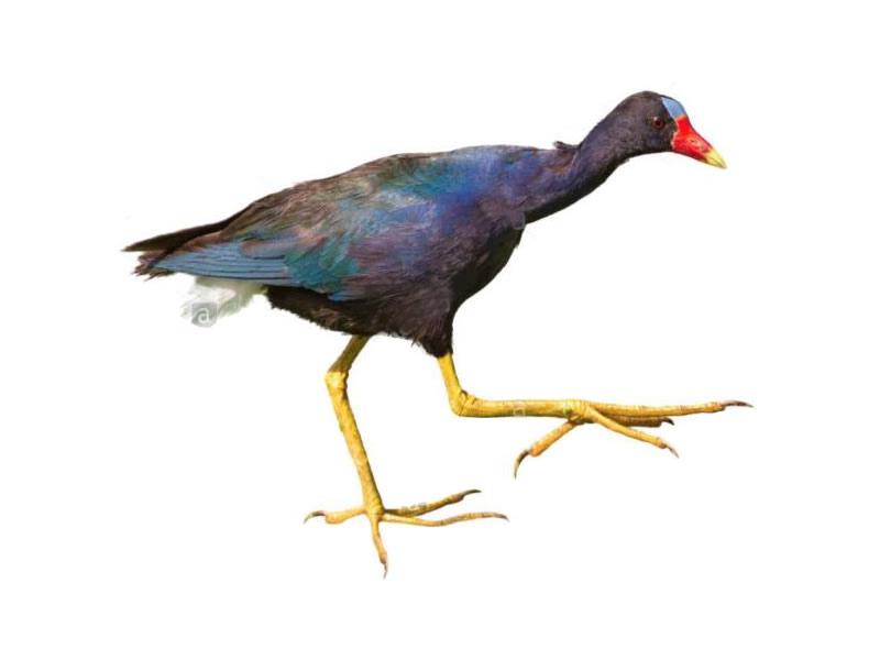 Gallareta púrpura