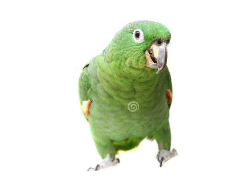Loras amazonas: farinosa