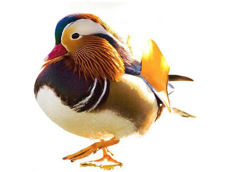 Pato chino