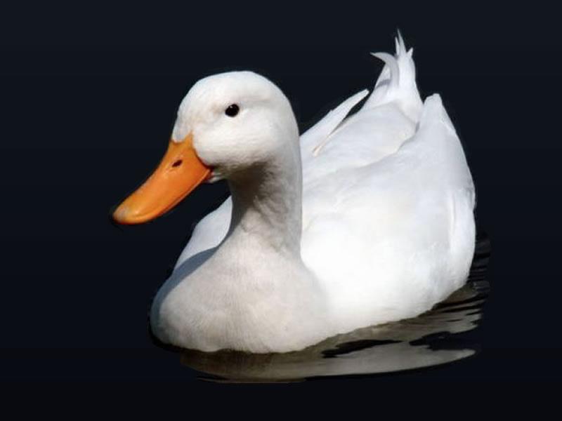Pato doméstico