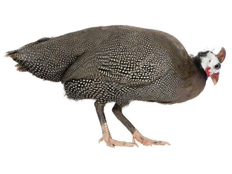 Gallina de guinea