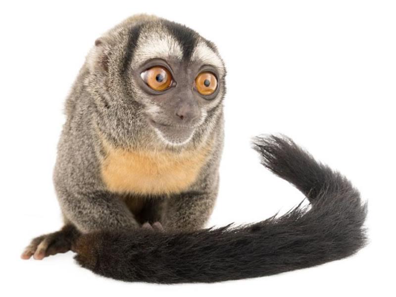 Mono nocturno lemurino y mono nocturno vociferante