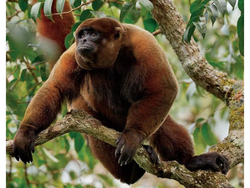 Mono chorongo de Pöppig