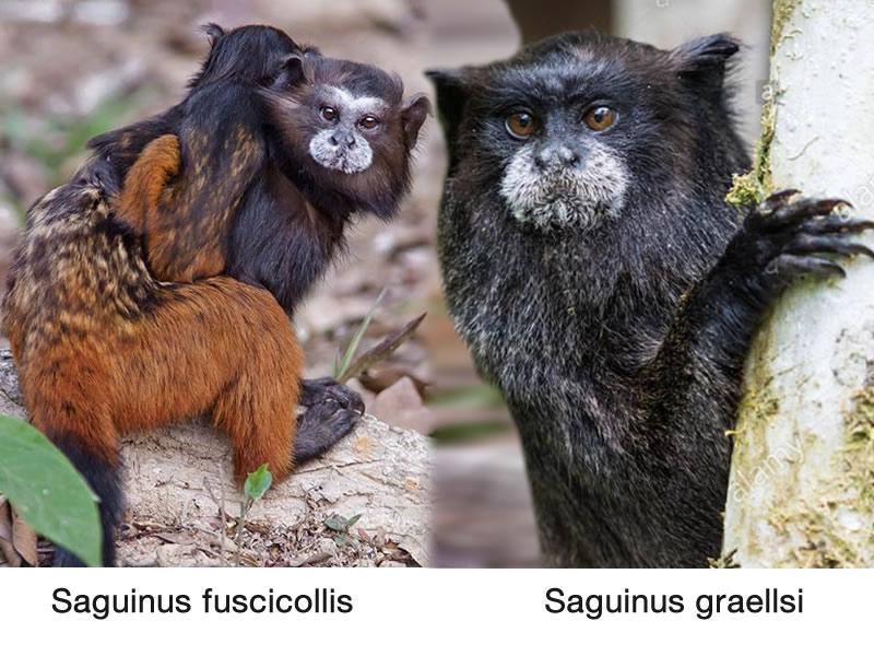 Monos chichicos: de Manto Rojo y del Napo