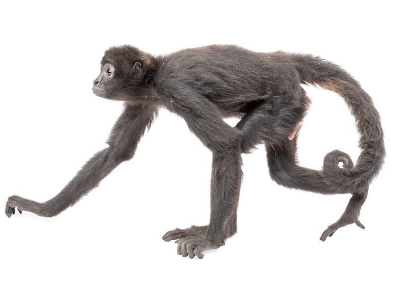 Mono araña: de vientre amarillo y cabeza marrón.