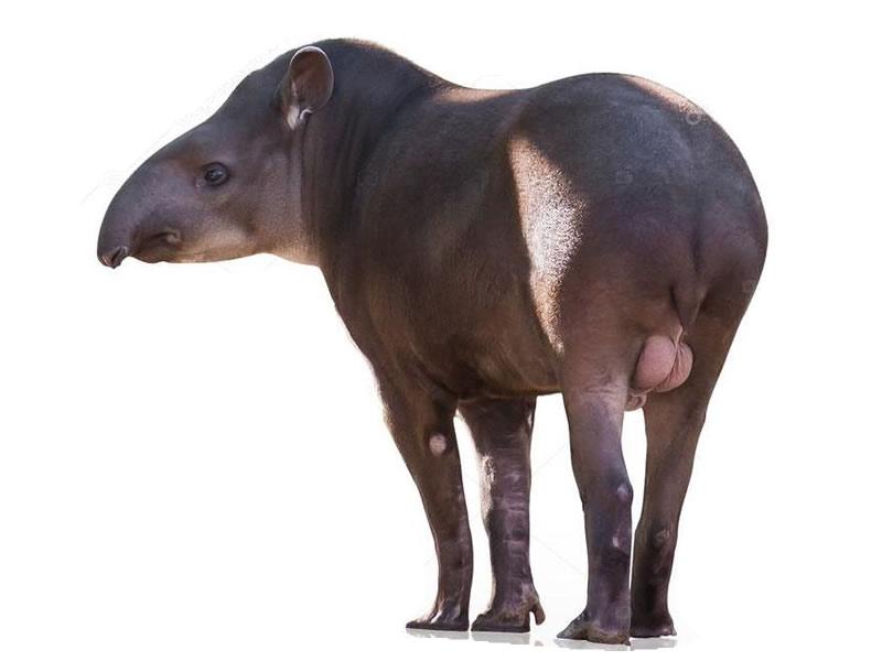 Tapir Amazónico