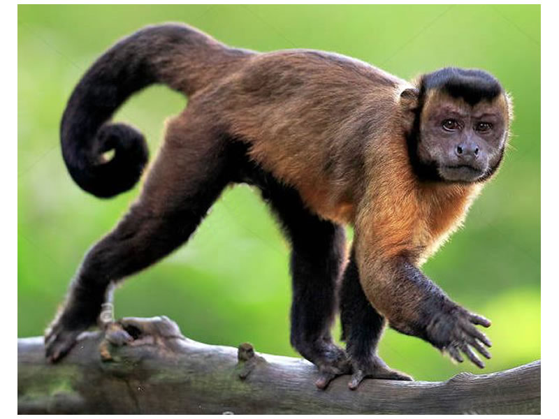 Mono capuchino negro