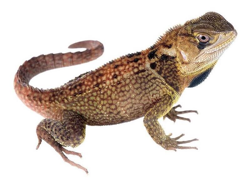 Iguana enana espinosa