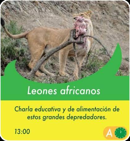 Leones Africanos - Actividades Sábados, domingos y feriados